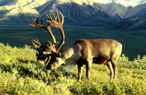 A Very Large Bull Reindeer Forages For Grass. Photo Credit: Courtesy Of Public Domainview terms Dean Biggins (U.S. Fish and Wildlife Service) - US FWS, DIVISION OF PUBLIC AFFAIRS, WO3772-023